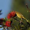 An Orange-crowned Warbler sipping nectar from a Bottle brush bloom.