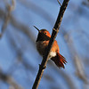 A male Allen's Hummingbird with his feathers fluffed out on a cold winter morning.