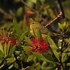 An Orange-crowned Warbler in my Bottle brush Tree.