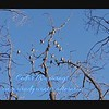 The sounds and flight of Cedar Waxwings