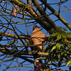 An adult Cooper's Hawk perched in my Silk Floss Tree on Christmas morning. This Hawk actually landed by my back door to let me know of its presence.