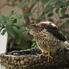 A juvenile Cooper's Hawk hanging out on the bird bath in my backyard.