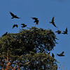 A flock of American Crows taking flight from my neighbor's huge pine tree.