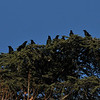 """A flock of American Crows hanging out in my neighbor's huge pine tree. While some people call large numbers of crows, a """"murder,"""" I am not fond of this label for its origins are mostly based on old folk tales and superstitions."""