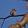 One of my favorite birds - the Cedar Waxwing.