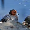 A male Eurasian Wigeon, which is considered a rare bird species for the Los Angeles area. This wigeon was photographed on February 8, 2020, in La Canada Flintridge, CA.<br /> <br /> Eurasian Wigeons breed from Iceland, the British Isles and Scandinavia east to eastern Siberia and Kamchatka, and south to northern Europe, central Russia and northern China. There are no breeding records of Eurasian Wigeons in North America. The majority of Eurasian wigeons winter from Iceland, the British Isles, northern Europe, southern Russia and Japan south to the eastern Atlantic islands, Africa, Arabia, India, the Malay Peninsula, southern China, Formosa and the Philippines.