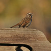 A singing Song Sparrow!