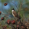 A Red-whiskered Bulbul perched in a pomegranate tree.<br /> <br /> The Red-whiskered Bulbul is native to tropical regions of Asia, including India, Nepal, Bangladesh, Myanmar, and the south China coast. Escaped caged birds were introduced and established colonies in North America. This particular bird was photographed in Arcadia, California, where there is a large population.