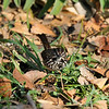 A Song Sparrow eating seeds of the grass