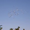 Wild Pigeons flying in circles; as captured on video the afternoon of February 8, 2020. <br /> <br /> When pigeons fly in circles, they are able to sense the magnetic field and smell the mixture of odors in the air to find that familiar odor of home. Therefore, flocks of pigeon form a circle and fly for navigation purposes. <br /> <br /> Additionally, there is increased safety from predator birds when there is a number of birds flying together instead of solo.