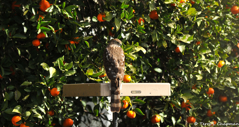 A juvenile Cooper's Hawk perched on one of my platform bird feeders.