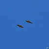Two juvenile Red-tailed Hawks flying in tandem.