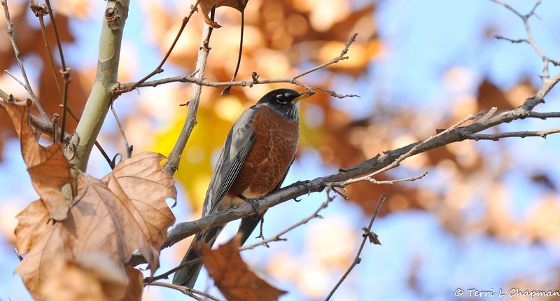 An American Robin blending in with the surrounding dried leaves.