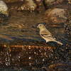A female American Goldfinch taking a drink from the stream.