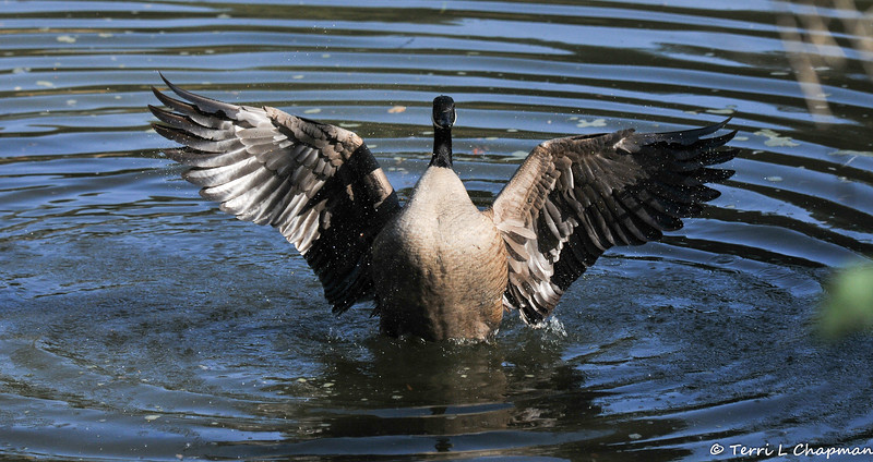 A male Canada Goose flapping and stretching his wings.