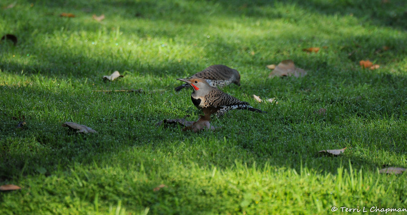 A male (Red-shafted) Northern Flicker with a female flicker behind him.<br /> <br /> Northern Flickers are woodpeckers, so it may seem unusual to photograph them on a lawn, but flickers eat mainly ants and beetles, and they dig for them with their unusual, slightly curved bill.