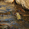 A Ruby-crowned Kinglet taking a bath in the stream.
