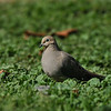 A Mourning Dove resting in a lawn sprinkled with Cheeseweed, which is a host plant for many insects, including the Painted Lady Butterfly.