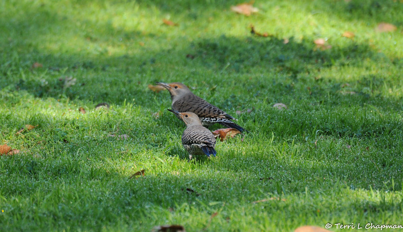 Two female Northern Flickers.<br /> <br /> Northern Flickers are woodpeckers, so it may seem unusual to photograph them on a lawn, but flickers eat mainly ants and beetles, and they dig for them with their unusual, slightly curved bill.