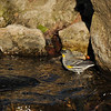 A male Yellow-rumped Warbler taking a bath in the stream.