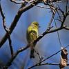 A female Lesser Goldfinch