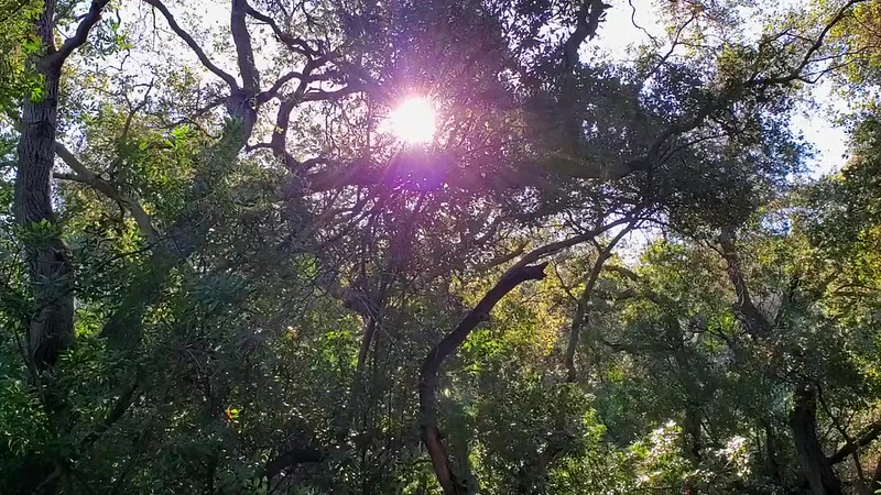 The restorative sights and sounds of an Oak forest; as captured on video the morning of January 27, 2020.