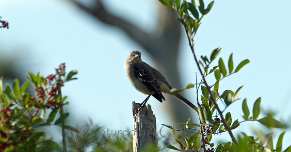 Mockingbird - Honeymoon Island State Park - Dunedin Florida