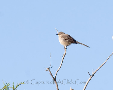 Mockingbird - Honeymoon Island State Park - Dunedin, FL