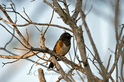 Eastern Towhee - Honeymoon Island State Park - Dunedin, FL