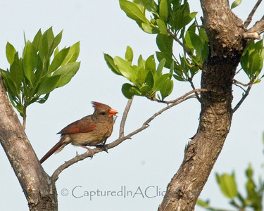 Female Cardinal - Ding Darling Wildlife Preserve - Sanibel, FL
