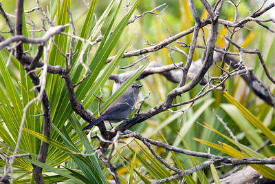 Gray Catbird - Honeymoon Island State Park - Dunedin Florida