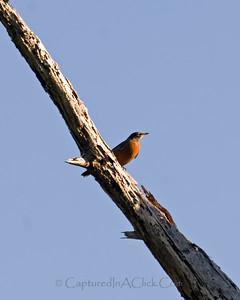 American Robin - Honeymoon Island State Park - Dunedin, FL