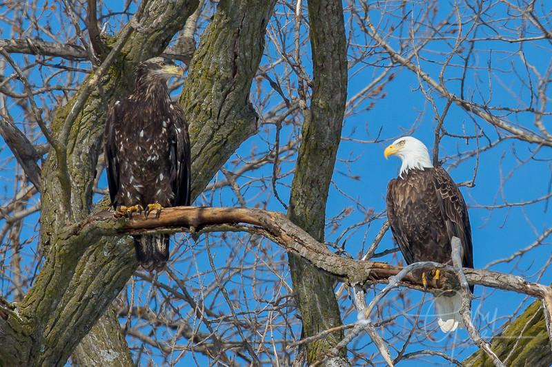 Bald_Eagle-18