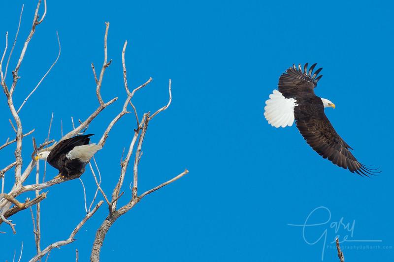 Bald_Eagle-17