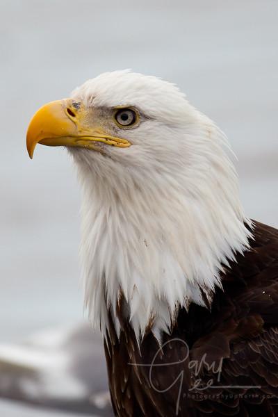 Eagle_Alaska36-