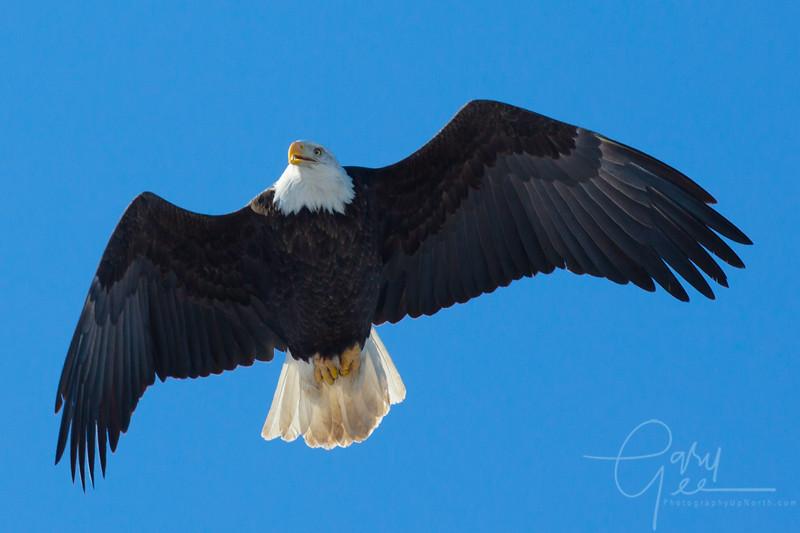 Bald_Eagle-27