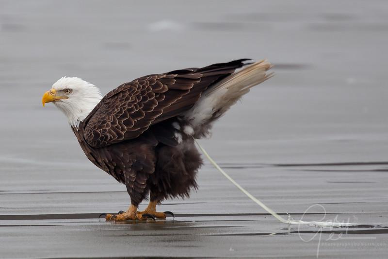 Bald Eagle - Yes, eagles do poop!