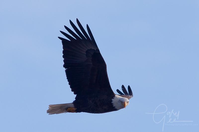 1Bald Eagle 51