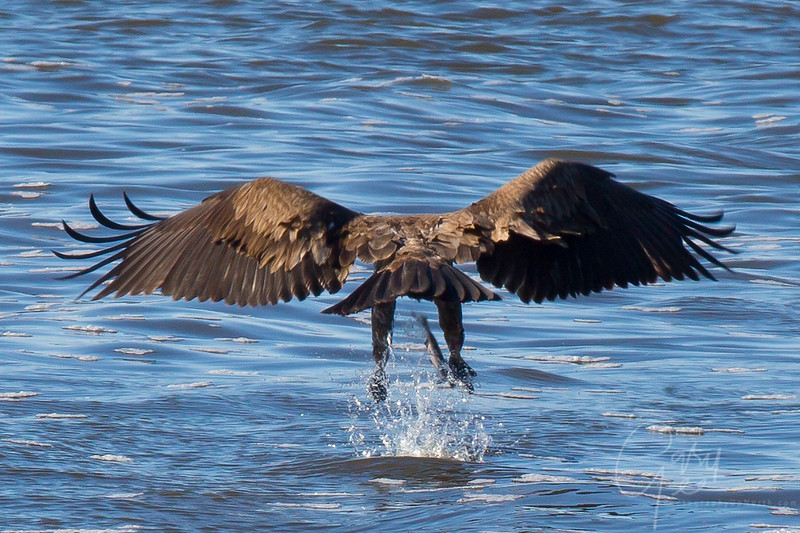 Bald_Eagle-14