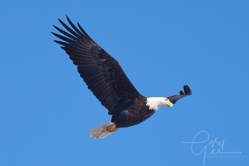 1Bald Eagle 35