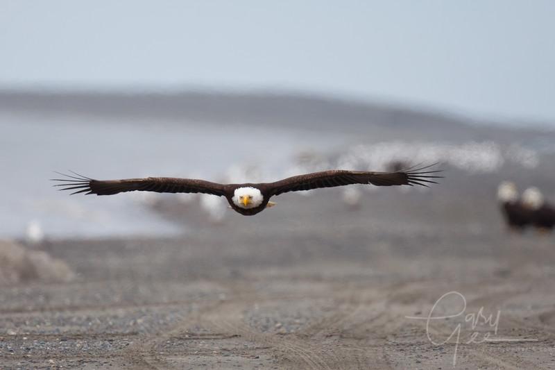 Eagle_Alaska43-