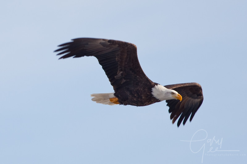 Bald Eagle soars by