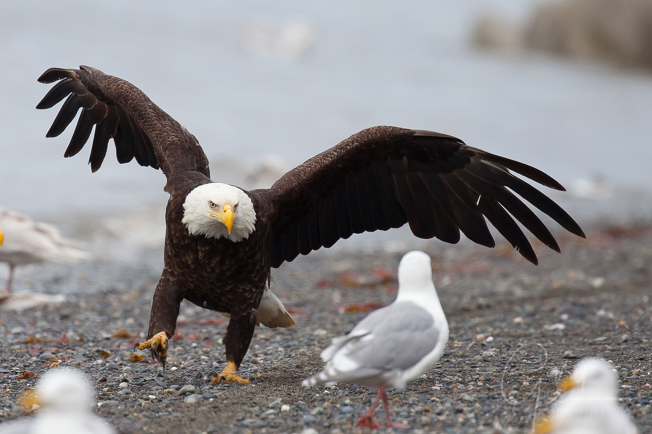 Bald Eagle clears the nearby shore of gulls as it lands
