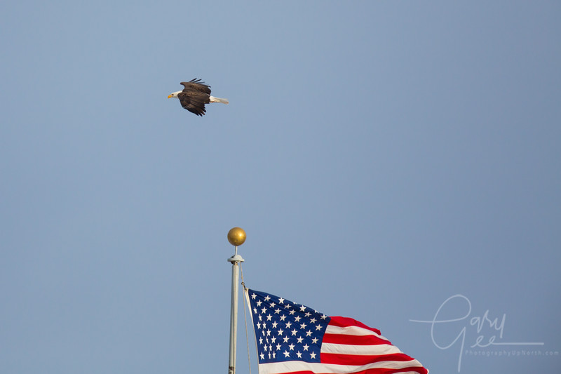 Bald Eagle and American Flag