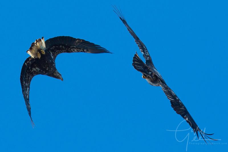Bald_Eagle-40