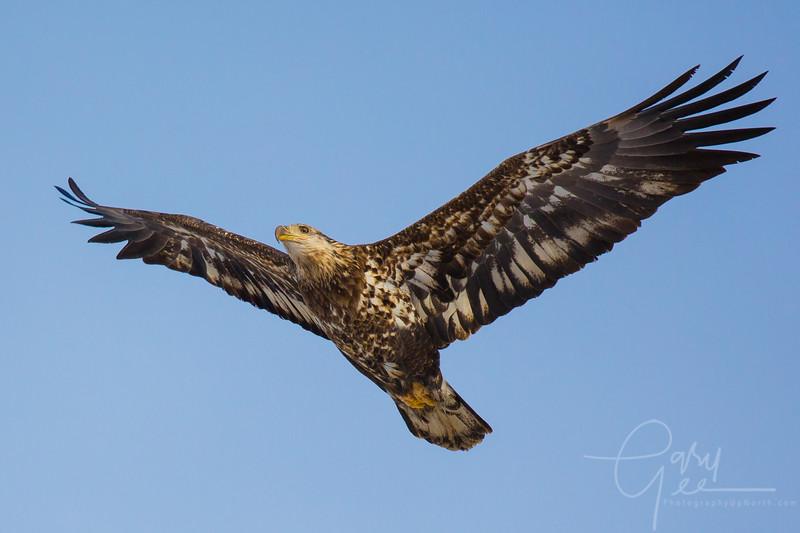 Eagle_2014-56