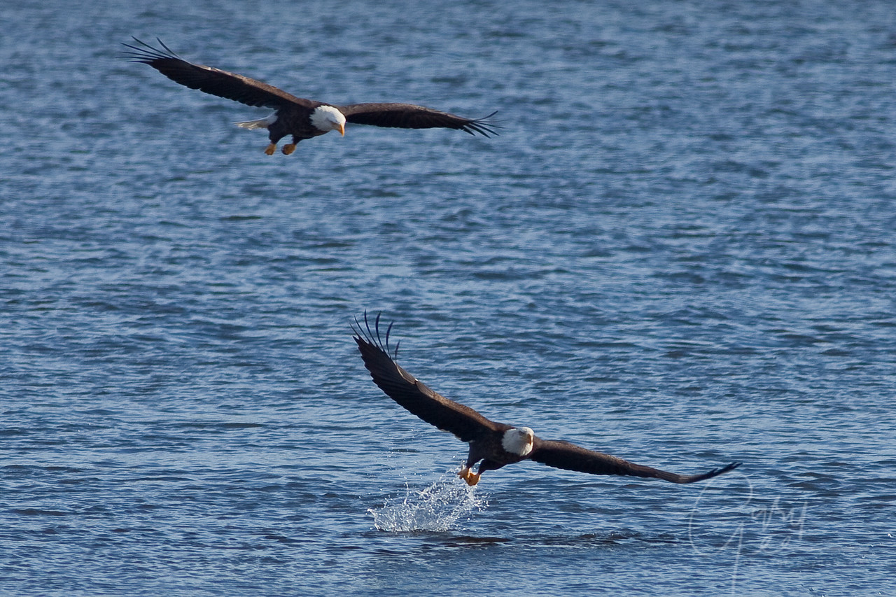 Pair of Bald Eagles fishing