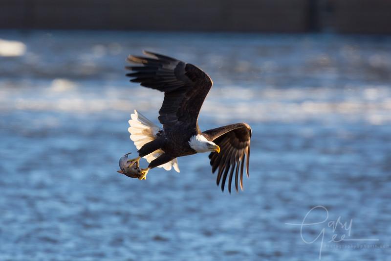 Eagle_2014-19