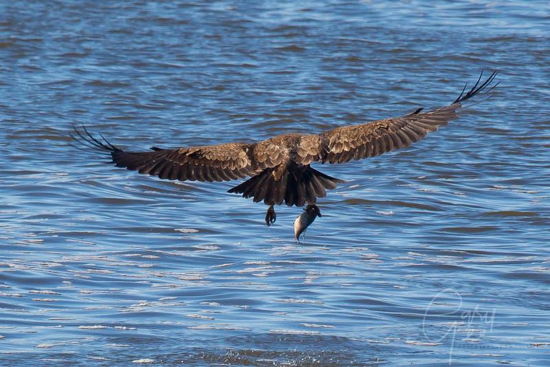 Bald_Eagle-13