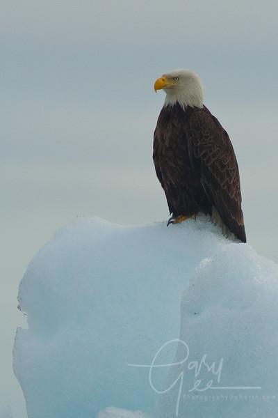 Bald Eagle setting on nearby iceberg in Valdez, Alaska.